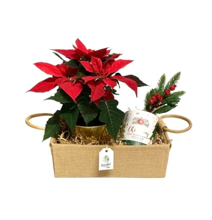 Red Poinsettia and Christmas Candle Pack