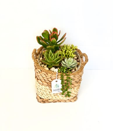 Succulent Garden in Two Tone Natural Woven Basket