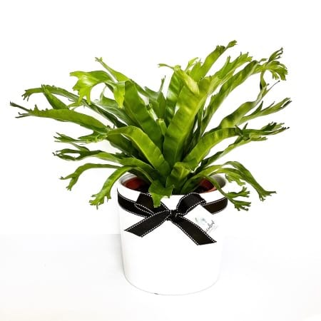 Bird Nest Fern Large in Pot