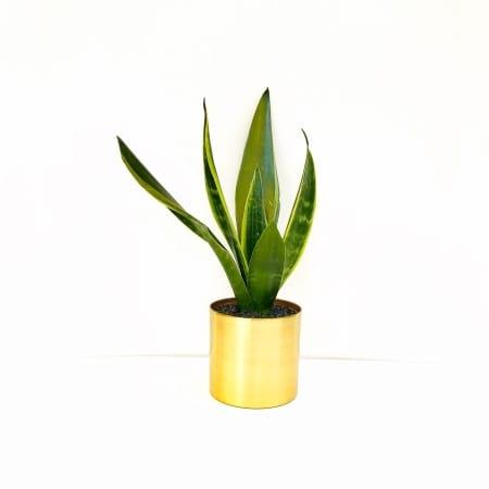 Sansevieria trifasciata Small Snake Plant