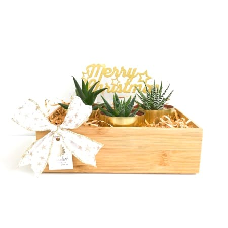 Christmas Belle Trio Mini Succulent Pack