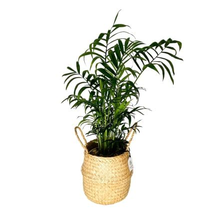 Parlour Palm Plant In Natural Seagrass 16cm Basket