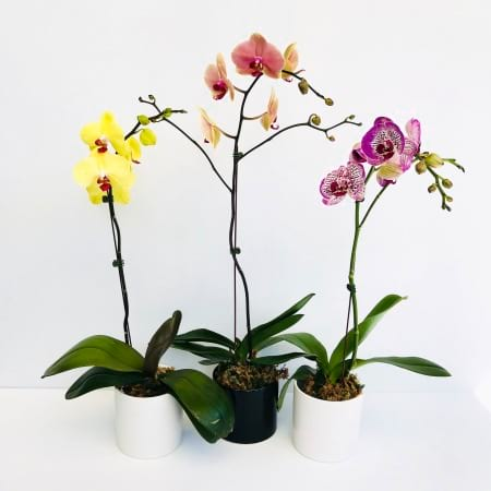 Succulent Surprise Choice Phalaenopsis Orchid In Gold, White  or Black Pot