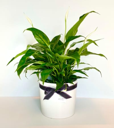 Peace Lily Plant And Pot