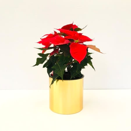 Red Poinsettia Plant (Small)