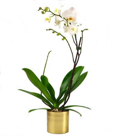 White Phalaenopsis Orchid By Succulent Surprise