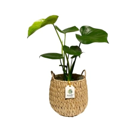 Monstera in Fiji Seagrass Planter