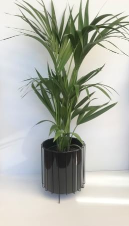 Kentia Palm Large With Choice of Pot