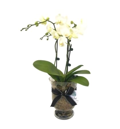 White Phalaenopsis Orchids In Glass Vase