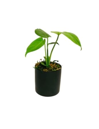 Monstera Plant in Black Ceramic Pot