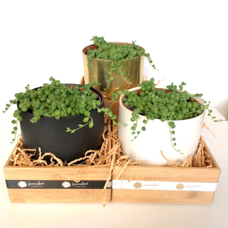 String Of Pearls Succulent Plant